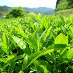 【新茶の香り】お茶摘みに行ってみた